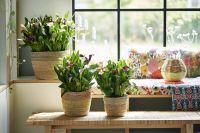 À chaque mois sa plante, juin : le Calla