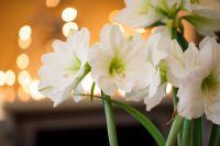 Amaryllis : plante d'intérieur, bulbe et fleur à couper du moment