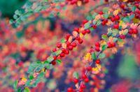 Arbustes et petits arbres qui colorent l'automne
