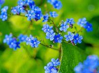 Fleurs bleues de l'Ascension